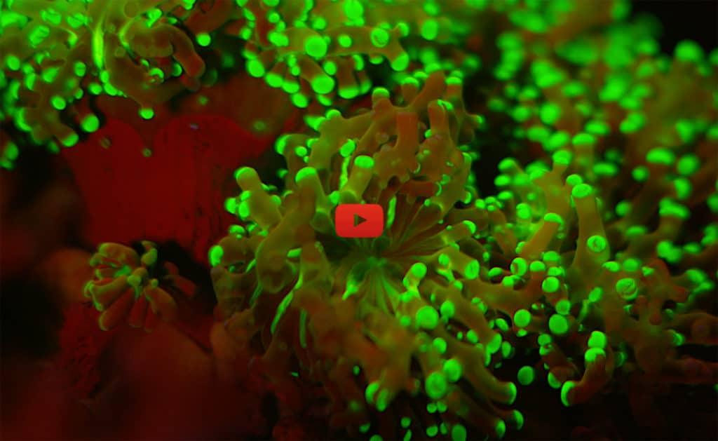 Illustration film fluorescence s.marine